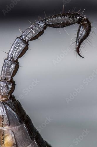 Coda e pungiglione di scorpione Heterometrus scaber