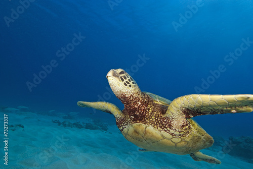 Fotografie, Obraz  Hawaii Turtle Swimming at Coral reef