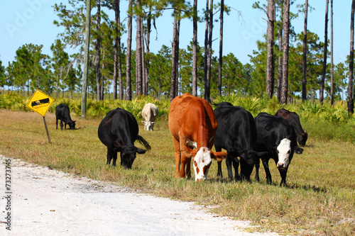 Cows on Military Base