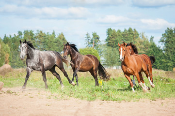 Herd of horses running on the pasture in autumn