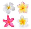 Leinwandbild Motiv Frangipani flower isolated on white background