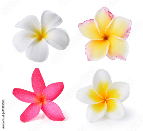 Photo Stands Plumeria Frangipani flower isolated on white background