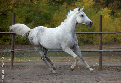 Fototapety, obrazy: Spotted white horse in running pose