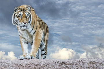 Fototapeta Zwierzęta Siberian tiger ready to attack looking at you