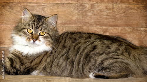 Photo Cat - Maine Coon (main coon) posing