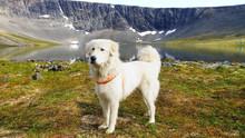 Anatolian Shepherd Dog.