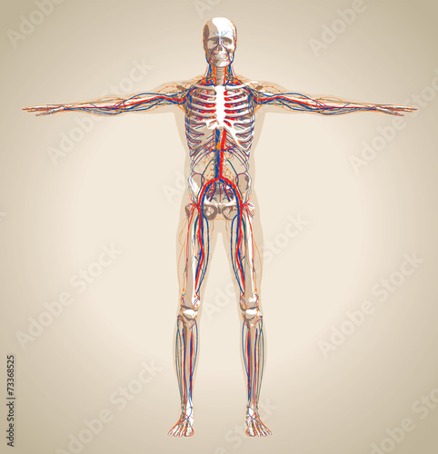 Fotografía  Human (male) circulation system, nervous system and lymphatic sy
