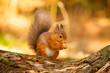Red Squirrel feeding in Autumn