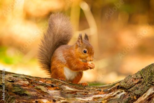 Foto op Canvas Eekhoorn Red Squirrel feeding in Autumn