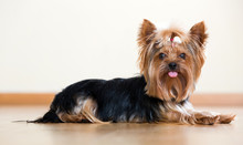 Funny Yorkshire Terrier
