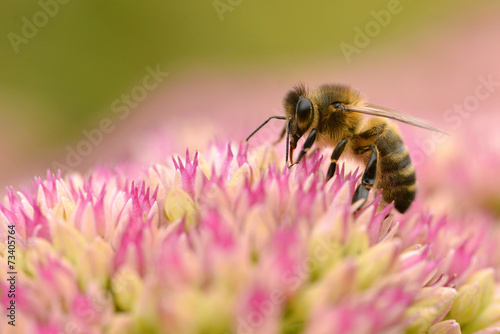 Poster Bee Honey bee feeding on sedum flower