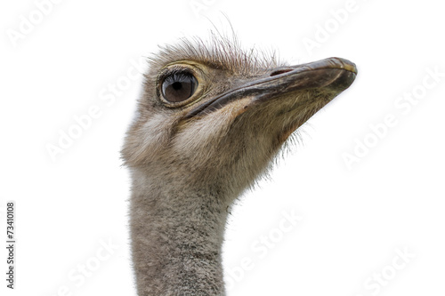 Poster de jardin Autruche Head of an ostrich isolated on white