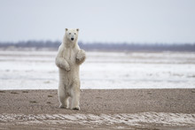 Polar Bear On Hudson Bay Canada