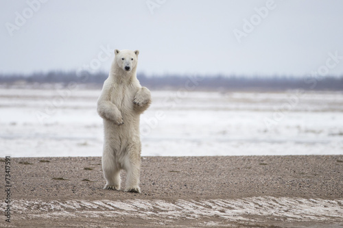 Photo Stands Polar bear Polar Bear on Hudson Bay Canada