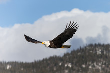 Magestic American Bald Eagle Flying In Homer Alaska