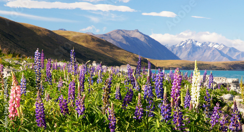 Photo Stands New Zealand Lupines of New Zealand