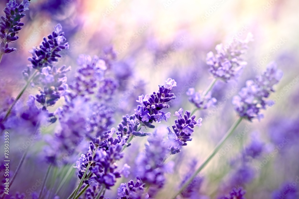 Fototapeta Soft focus on lavender flower