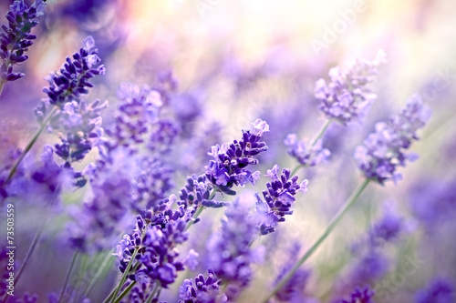 Foto op Canvas Lavendel Soft focus on lavender flower