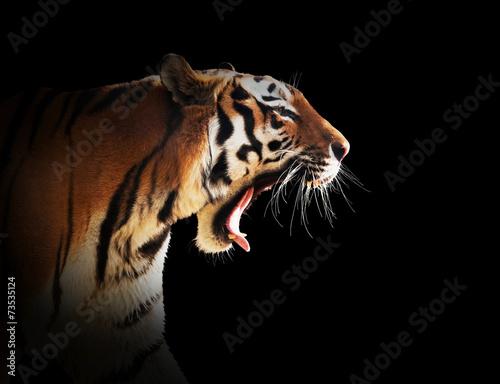 Foto auf AluDibond Tiger Wild tiger roaring. Black background.