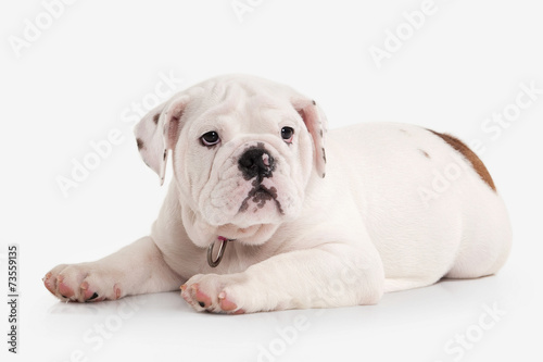 Dog  English bulldog puppy on white background - Buy this