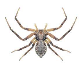 Spider Philodromus aureolus (female)