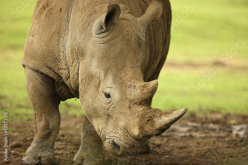 Poster Neushoorn Close up of a White Rhino