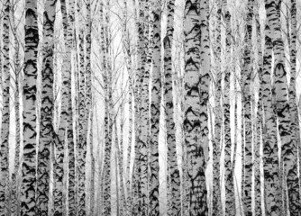 Fototapeta Brzoza Winter trunks birch trees