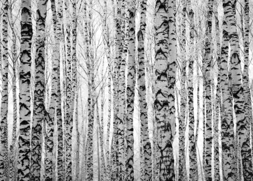 Winter trunks birch trees Poster