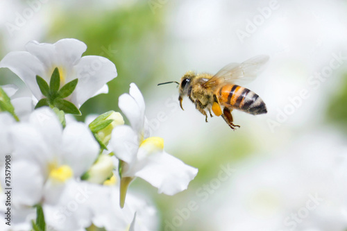 Foto op Canvas Bee Honeybee