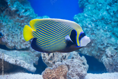 Photo Pomacanthus imperator - emperor angelfish