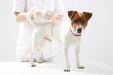 Fototapeta Zwierzęta - Młody pies Jack Russell Terrier u lekarz weterynarii