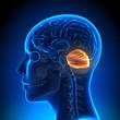canvas print picture - Female Cerebellum - Anatomy Brain