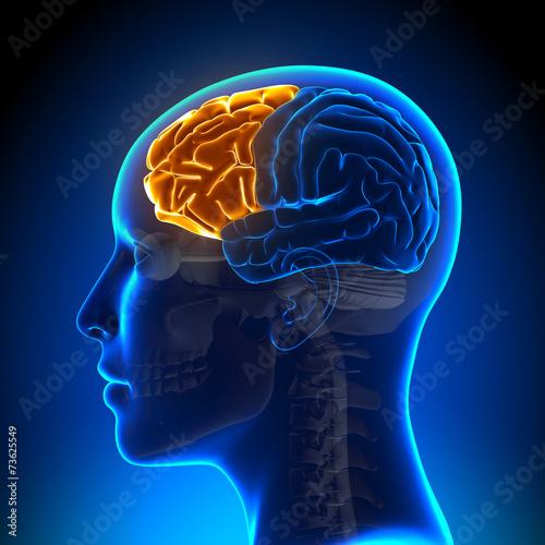Photo  Female Frontal Lobe - Anatomy Brain