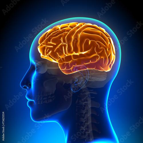 Photo  Female Anatomy Brain Full