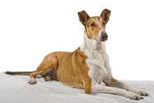 Golden Smooth Collie Lying On ...