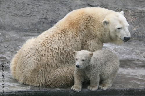 In de dag Ijsbeer Polar bear cub (Ursus maritimus) with its mum.