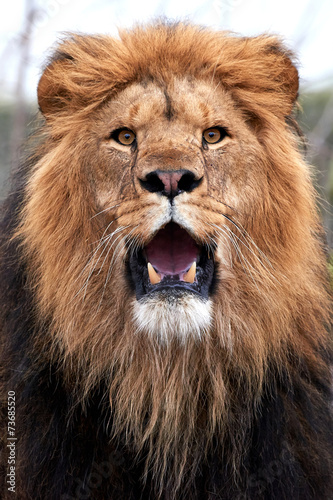 Staande foto Leeuw Lion (Panthera leo)