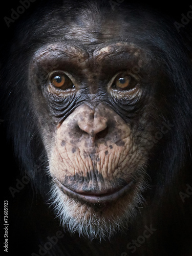 Common Chimpanzee (Pan troglodytes) Fototapet