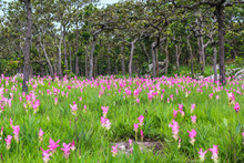 Siamese Tulip Fields At Pa Hin Ngam National Park In Thailand