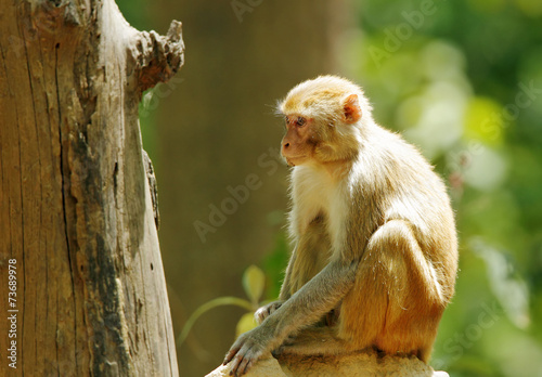Fotografie, Obraz  Rehsus Macaque sitting on anthill