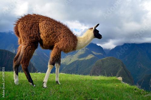 Poster Lama Lama grazing on the ruins of Machu Picchu