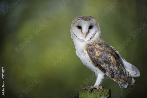 Woodland Barn Owl 2 Wallpaper Mural