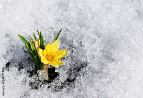 Photo  yellow crocus in snow