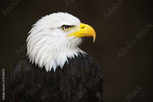 In de dag Eagle Bald headed eagle