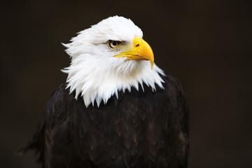 Bald headed eagle.