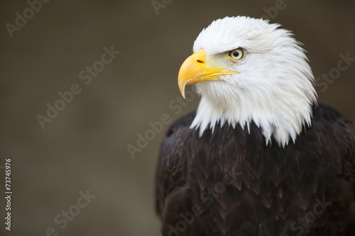 Fotografering  Bald headed eagle, side profile.