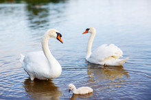 Bird Family: Swans And Cygnet, On A Lake