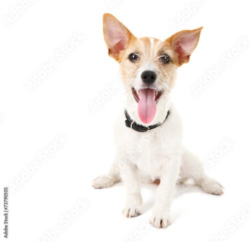 Fotografie, Obraz  Funny little dog Jack Russell terrier, isolated on white