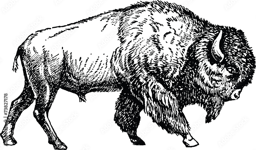 Fototapeta Vintage picture bison