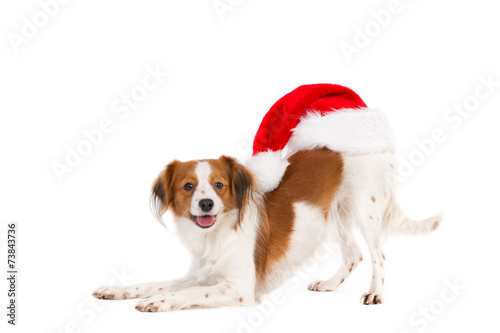 Poster Dog Kooiker Hound with Santa hat on his back